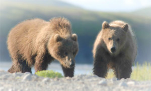 Best Time to Book a Bear Viewing Charter in Alaska